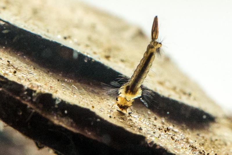 hyttysen toukka