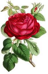 ruusu 8.jpg