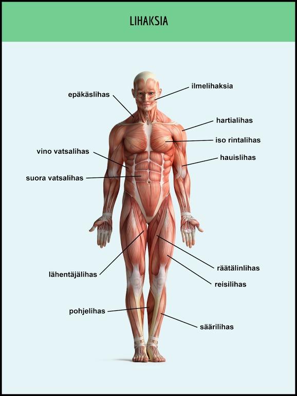 Ihmisen Ruumiinosat