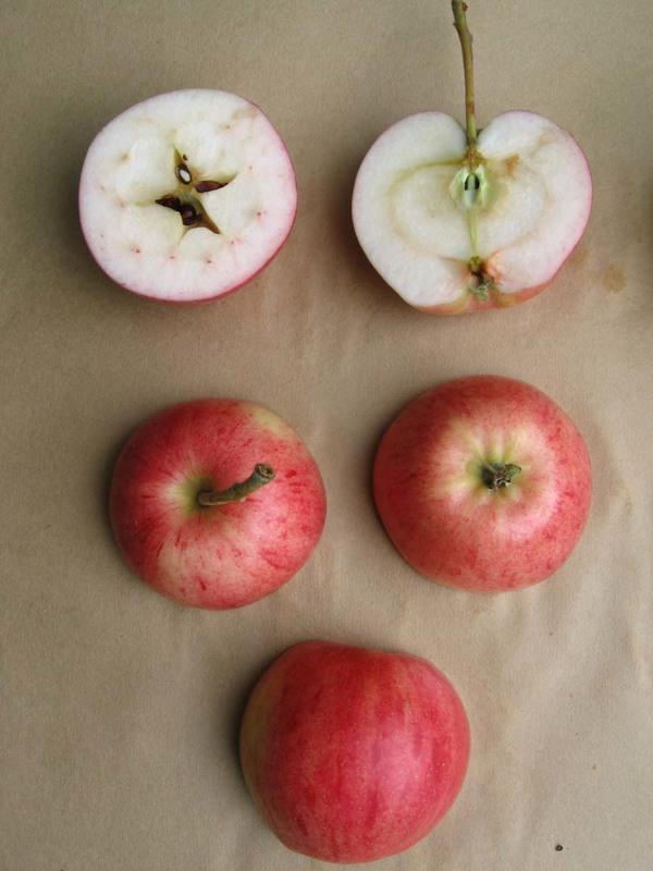 Omena_ Huvitus-omena halkaistuna_Hilma Kinnanen.jpg