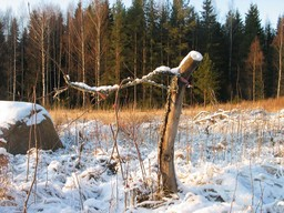 Omena_Korpelan omena helmikuussa 2010_Maarit Heinonen_.jpg