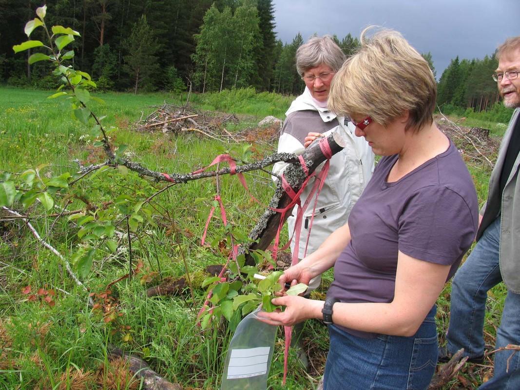 Omena_Korpelan omenasta otetaan lehtinäytteet DNA-analyysiin_Maarit Heinonen..jpg