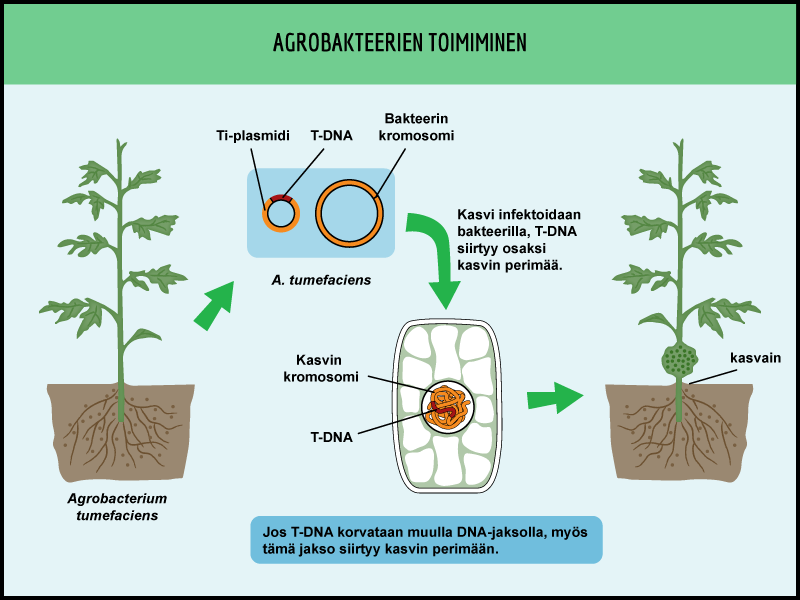 Agrobakteeri