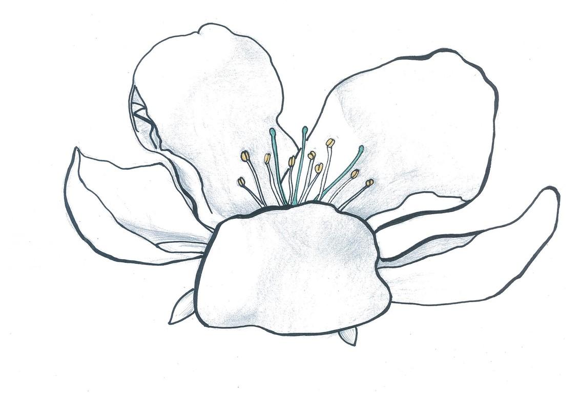 Tarhaomenapuun Kukka Sivulta