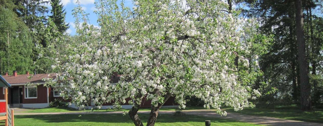 Runsaasti kukkiva omenapuu_ Kuva Hilma Kinnanen Luke.jpg
