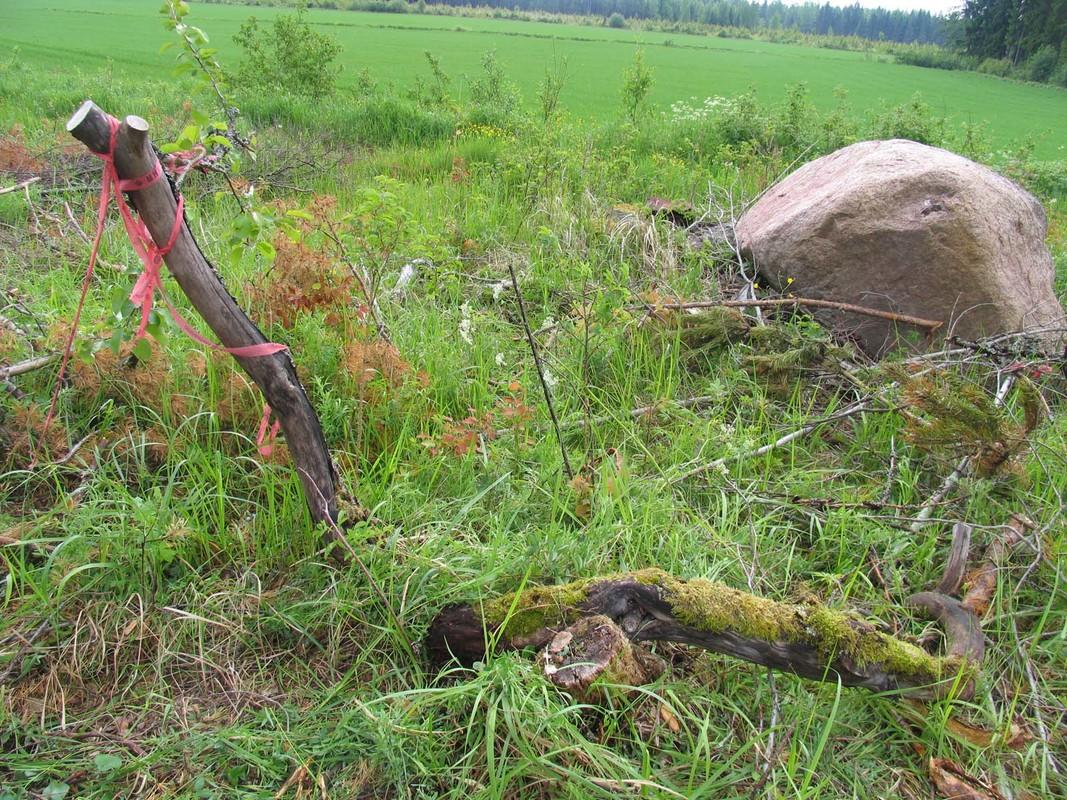Omena_Korpelan omenapuussa oli yksi elävä oksa kun se löydettiin toukokuussa 2009_Maarit Heinonen..jpg