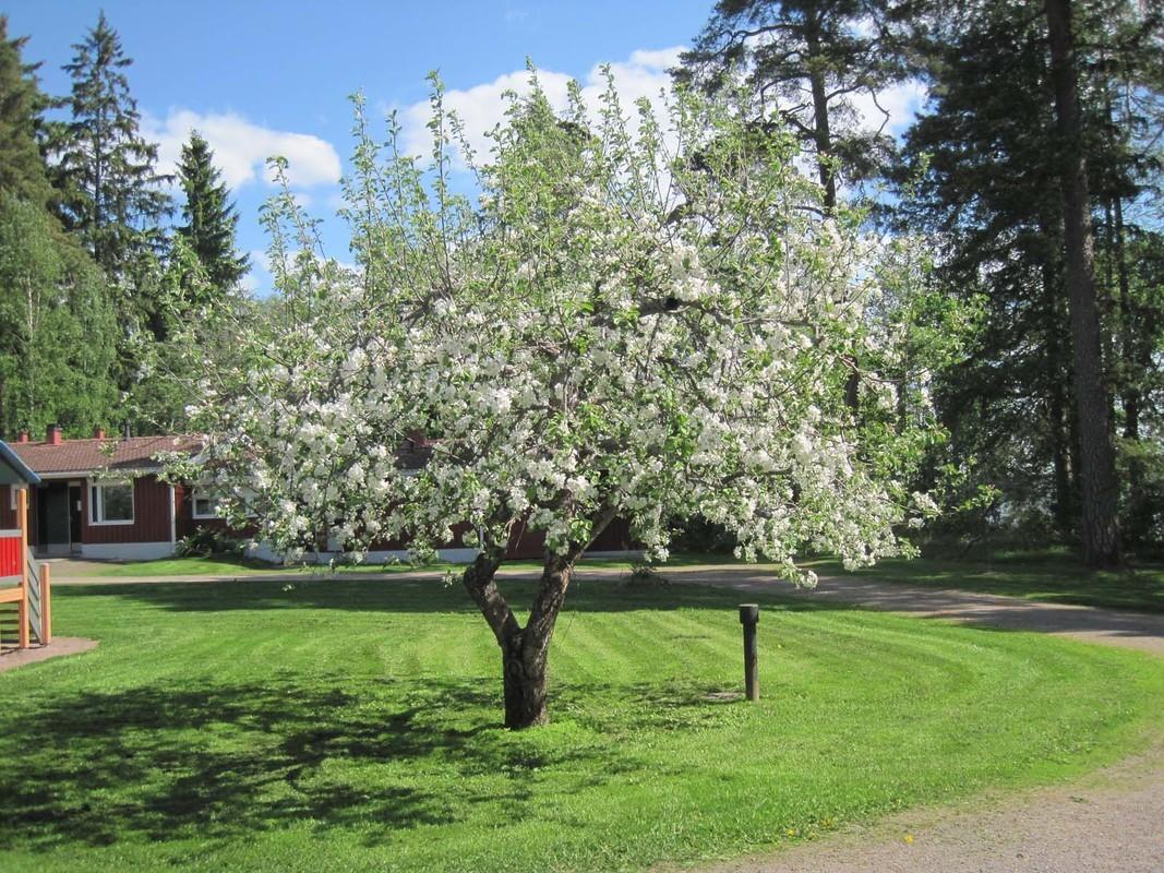 Runsaasti kukkiva omenapuu_ Kuva Hilma Kinnanen Luke (1).jpg