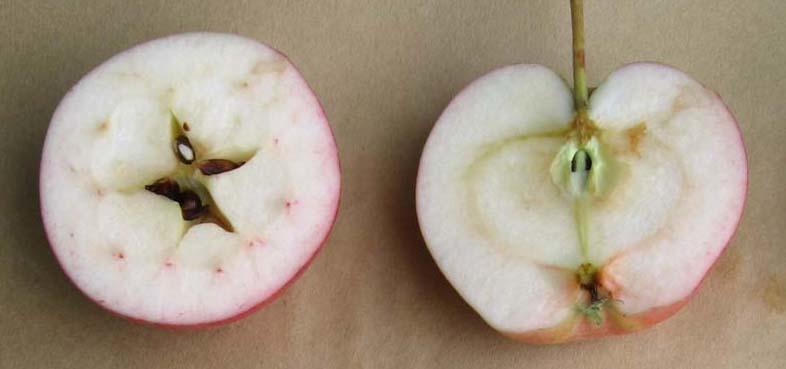 Omena_ Huvitus-omena halkaistuna_Hilma Kinnanen (1).jpg