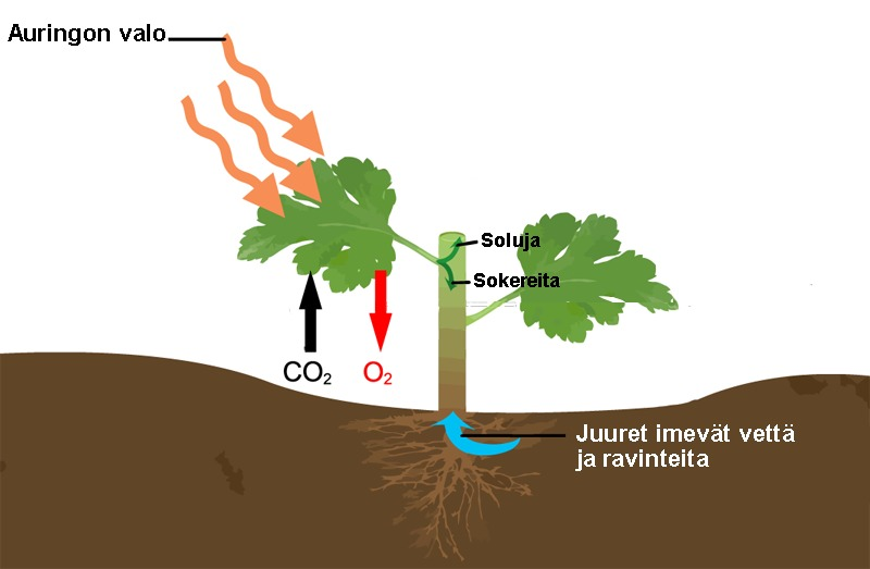 fotosynteesi.png