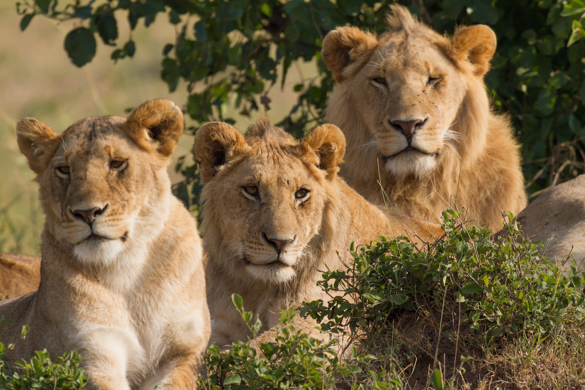 Lions_Family_Portrait_Masai_Mara.jpg
