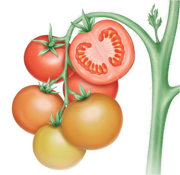 Fruit formation placentation in a tomatog ccuart Choice Image