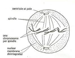 metaphase.jpg