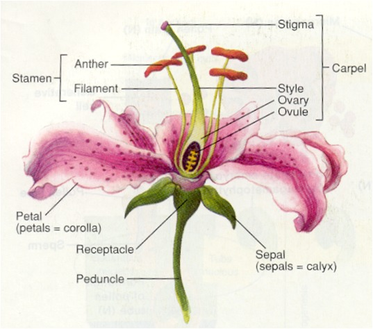 DIAGRAM OF A FLOWER.png