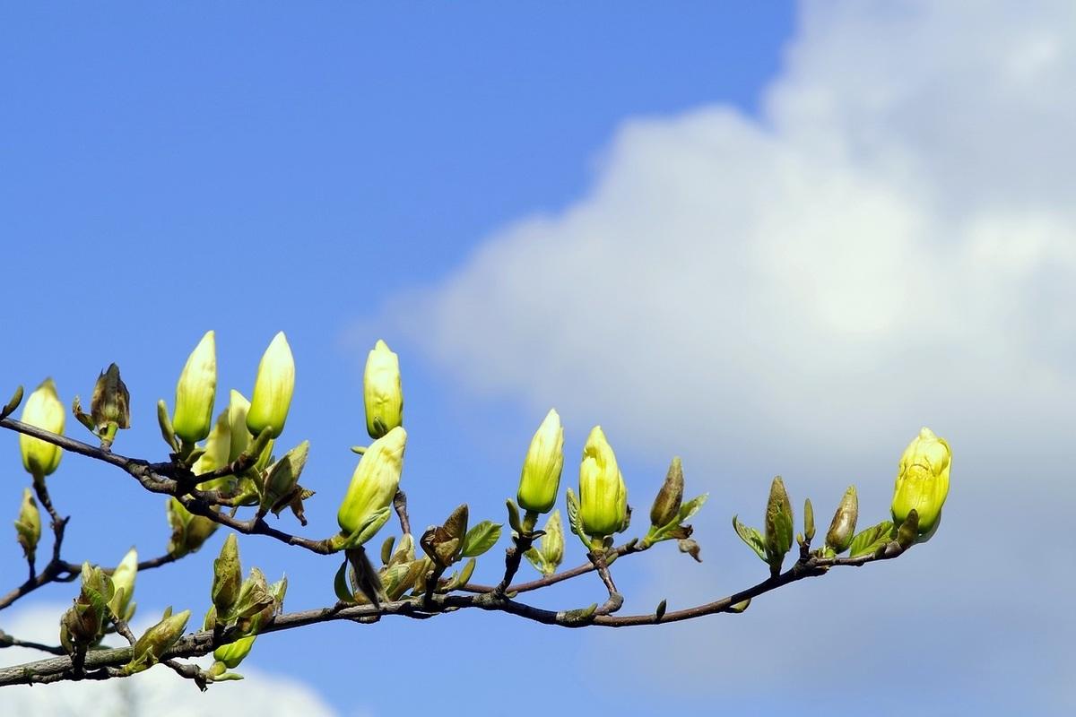 magnolia-2256871_1280.jpg