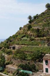 Cinque Terre Manarola viiniviljelyksiä rinteellä.JPG