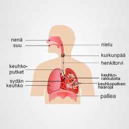 Hengityselimistön Rakenne