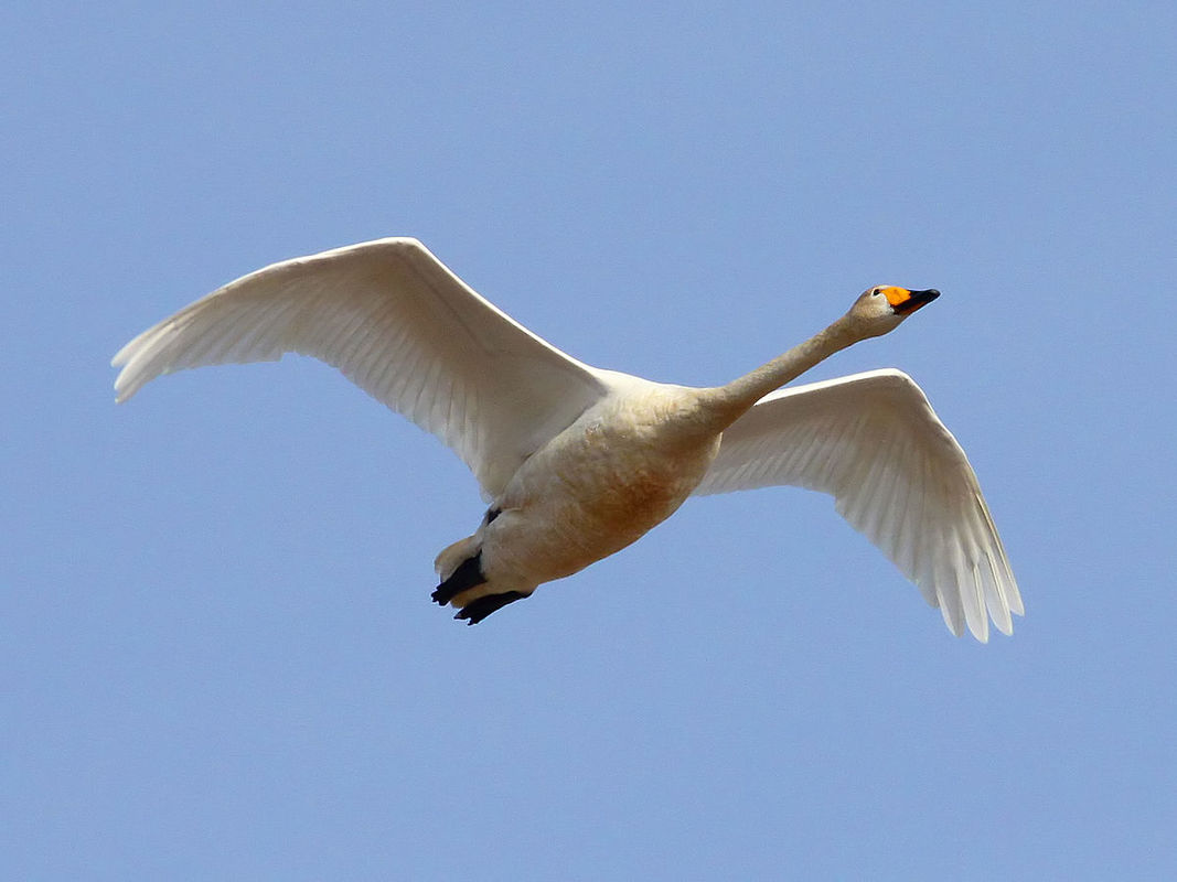 1200px-Whooper_Swan_(Cygnus_cygnus)_(26).jpg