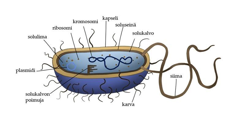 bakteeri_jsalomaa_eoppi_1440_peda.png.jpg