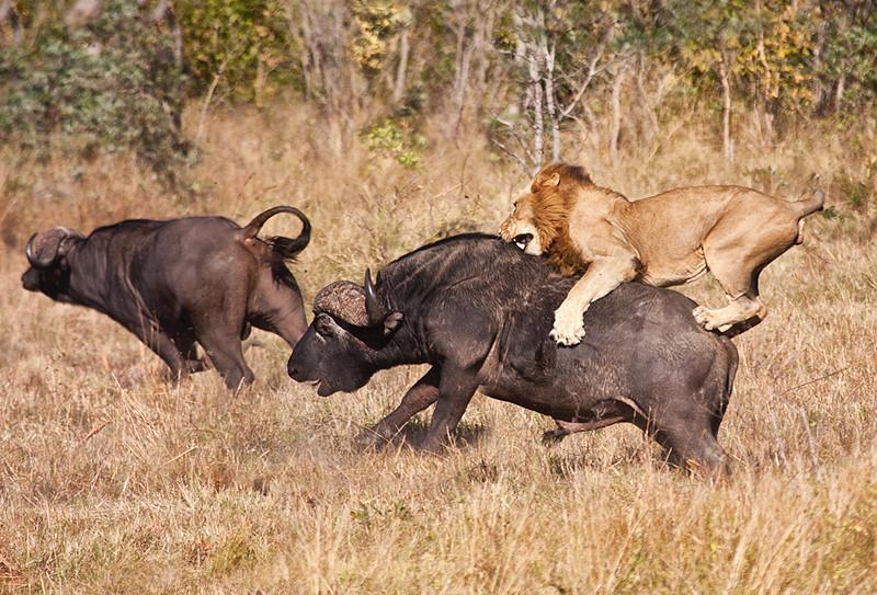leijona_afrikanpuhveli_shutterstock_106034483.jpg