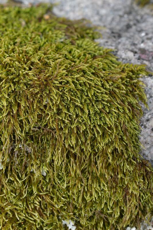 kalliopalmikkosammal_oharma_MG_2793.jpg