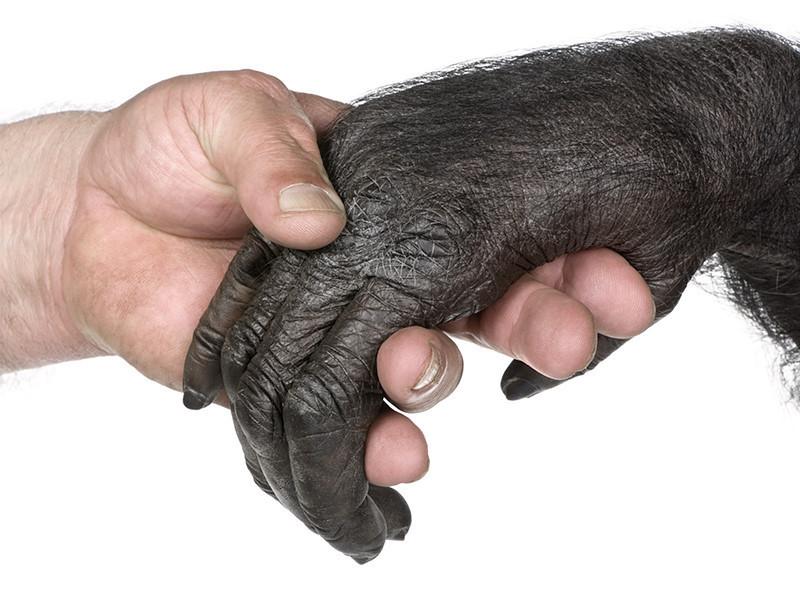ihminen_simpanssi_shutterstock_34301164.jpg