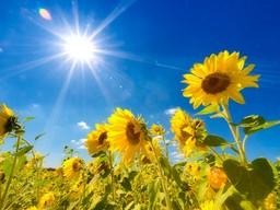 saksa_auringonpaiste_auringonkukka_shutterstock_110390687_p.jpg