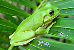 vihreasammakko.jpg